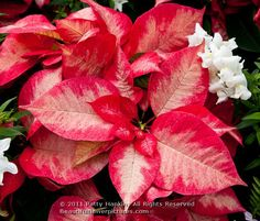 poinsettia_ice_crystal_6801