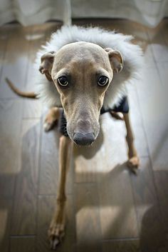 Hana the Italian Greyhound by Ben Christian Photos, via Flickr