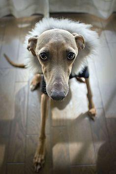 italian greyhounds | Tumblr