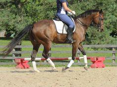 Interpreting the Half Halt | Horse Listening | asking the horse to lift the ribcage, lightening the seat feeling a weight shift backwards, lightness, softer footfalls