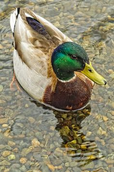 Seattle Mallard Duck by NikonDigifan Farm Animals, Animals And Pets, Cute Animals, Wild Animals, Duck Pictures, Animal Pictures, Pato Animal, Anas Platyrhynchos, Beautiful Birds