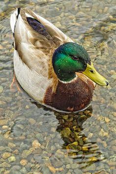 lillypotpie:    Seattle Mallard Duck by NikonDigifan on Flickr.