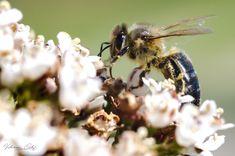 Ouvrière infatigable - Le printemps est arrivé, et avec lui c'est toute la nature qui s'est éveillée. Les arbustes et les buissons bourdonnent de plaisir, et lorsque l'on prends le temps de regarder, on peut voir des dizaines et des dizaines d'ouvrières s'affairer à la récolte du pollen. Bon courage mesdames.