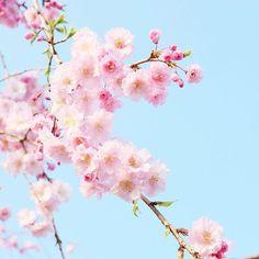 【ruri.fleur】さんのInstagramをピンしています。 《. mayukiさん (@couleurnoor)から ピンクバトンいただきました💕 ありがとうございます😆✨ でも初めてのことでよくわからずオロオロ…💦. . ピンクといえば私のイメージでは桜🌸 あちこちで河津桜picを見かけますが、 こちらはまだ咲いていないので 過去picから探してみました😉 桜の季節が待ち遠しいです🌸 . バトンもだけど、タグ付けも初チャレンジ💦 面倒くさそうで今まで付けたこと なかったけど、思っていたよりあっけなく できてしまい、拍子抜け😳 タグ付けさせていただいた方、もしよければよろしくお願いします💕 .  #flower #flowers #flowerstagram #floweroftheday #igersjp #instagram #instaflower #9vaga9 #9vaga_flowersart9 #team_jp_flower #team_jp_  #team_jp_西 #my_daily_flowers #tv_flowers…