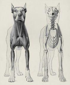 Herman Dittrich - Handbuch der Anatomie der Tiere für Künstler - 1898 - via University of Wisconsin Digital Collections