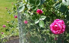 Photo: Big, fat rose blooms on the family climber :-)