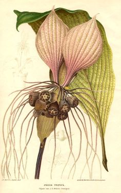 Tacca cristata is a species of flowering plant in the yam family Dioscoreaceae.   (via Taccaceae - Tacca cristata - Ataccia cristata.)
