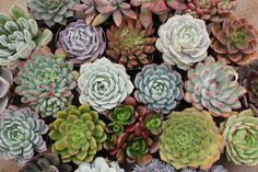35  GORGEOUS Assorted Succulents in their 2.5 by SANPEDROCACTUS, $87.50