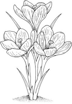 Crocus 2 coloring page - Free Printable Coloring Pages Flower Coloring Pages, Colouring Pages, Adult Coloring Pages, Coloring Sheets, Coloring Books, Flower Sketches, Drawing Flowers, Black And White Drawing, Free Printable Coloring Pages