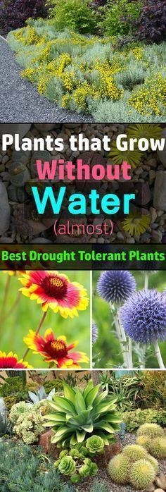 All plants need water to survive. However, like plants that require more water, there are plants that grow in a lack of water. They are the best drought tolerant plants and can live without water for a long time.