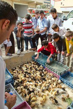 ducklings, Erbil Livestock Marketplace, Kurdistan, Iraq