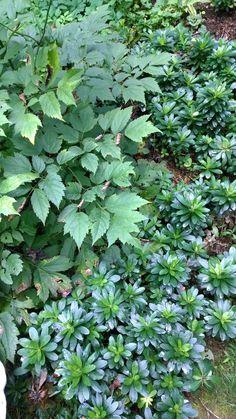 robbiae / Wood spurge (photo by suz wall) Dry Shade Plants, Garden Inspiration, Garden Ideas, Landscaping Plants, Shade Garden, Herbs, Landscape, Gardens, Yard