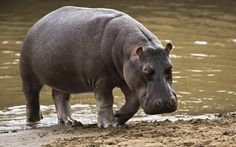 Hippopotamus - Hippo's are an underestimated predator, although they look peaceful, and estimation of around 500 people are killed per year due to being crushed by their 13 by 5ft frame, weighing at around 3.5 tonnes and powerful Jaws