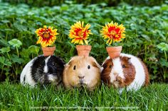 Guinea pigs and flower pot hats. But of course! Just for smiles… #guineapigs #animals #pets #forsmiles