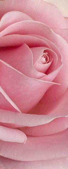 vackra bilder på rosor