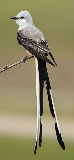 The Scissor-tailed Flycatcher, Tyrannus forficatus, aka the Texas bird-of-paradise