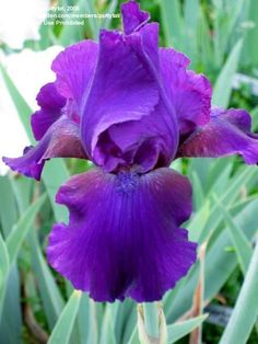 TB Iris germanica 'Forever Night' (Hedgecock, 1995)