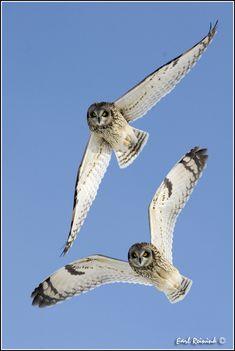Short Eared Owl (20110211-0081) | von Earl Reinink