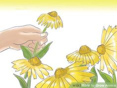 How to Grow Arnica: 5 Steps (with Pictures) - wikiHow