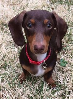 Coco and white doxie