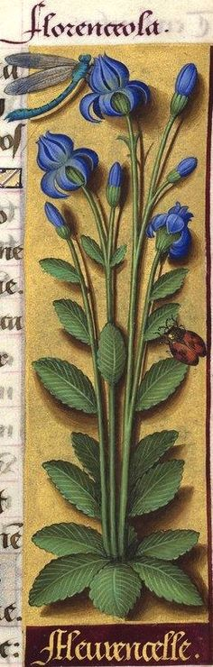 Fleurencelle - Florenceola (Campanulacée indéterminable -- Decaisne propose le Phyteuma orbiculare) -- Grandes Heures d'Anne de Bretagne, BNF, Ms Latin 9474, 1503-1508, f°127r