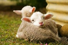 Australia live ships thousands of these to hideous deaths in the Middle East. Join animals Australia in trying to stop live sheep shipments. Thousands die on the ships, more die inhumanely at time of slaughter. Cute Baby Animals, Farm Animals, Animals And Pets, Funny Animals, Cute Lamb, Sheep And Lamb, Baby Sheep, Baby Lamb, Baby Goats