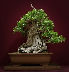 mangle boton bonsai - Buscar con Google