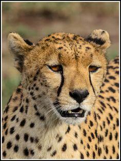 Female Cheetah By Giancarlo Bisone Via 500px