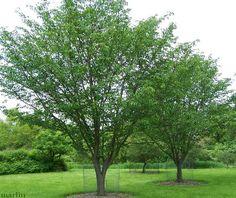 Judd's Cherry Tree - Prunus x juddii