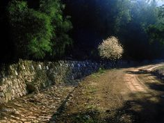 ~J   Almond Tree - Forest of the Holies near Jerusalem ©Chanan Getraide 2002