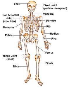 bone names - also bone volleyball game (do in wed group by using a, Skeleton