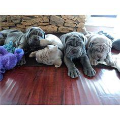 Neaplitain Mastiff Puppies so cute