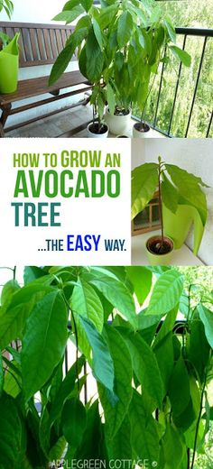 How to Grow an Avocado Tree – The Easy Way How to grow an avocado tree – this tutorial shows you the easiest way to grow an avocado plant. I wanted to see if a totally 'lazy' way of growing an avocado tree would work, too. Check it out here. Avocado Dessert, Growing Avacado Tree, Grow Avocado Tree, Growing Avocado Indoors, Planting Avocado Tree, Dwarf Avocado Tree, Avocado Tree Care, Growing Vegetables, Growing Plants