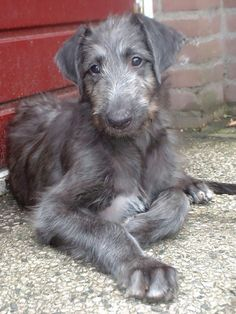 Scottish Deerhound Puppy. Sure doesn't look like a pup lol