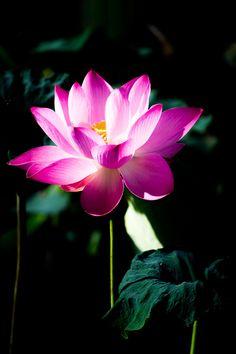 Sacred lotus nelumbo nucifera nelumbo nucifera wikipedia flora sacred lotus nelumbo nucifera nelumbo nucifera wikipedia flora waterlilies water plants rs pinterest nelumbo nucifera lotus and plants mightylinksfo
