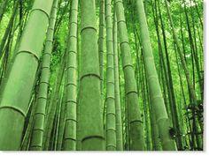 The 5 Elements (Wu Hsing) Growing Bamboo, Growing Plants, Perennial Grasses, Perennials, Bonsai, Clumping Bamboo, Natural News, Natural Beauty, 5 Elements