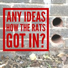 A Rat Free Attic In Five Easy Steps Before You Do Anything - Find The Entry Point! If you definitely have rats in your loft or att. Getting Rid Of Rats, Rat Control, Do Anything, Bristol, Attic, Easy, Free, Loft Room, Attic Rooms