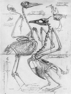Avian anatomy illustration by Volcher Coiter.