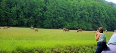 Most of the elk are located in the Cataloochee area in the southeastern section of the park. The easiest way to reach Cataloochee is from Interstate highway I-40. Exit I-40 at North Carolina exit #20. After 0.2 mile, turn right onto Cove Creek Road and follow signs 11 miles into Cataloochee valley. Allow at least 45 minutes to reach the valley once you exit I-40.