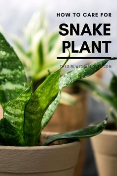 Do you love your snake plant?! Show it some real lovin' by making sure it stays alive! Check out this post on proper Snake Plant Care! Snake Plant Care | Indoor Snake Plant Care | Snake Plant Care Tips | Houseplant Snake Plant Care | Birds Nest Snake Plant Care | Moonshine Snake Plant Care | Dwarf Snake Plant Care | Snake Plant Care Water | Low Light Snake Plant Care Tips | Snake Plant Care Pots | Sansevieria trifasciata plant care | Sansevieria trifasciata plant care tips | Pot Plants, Water Plants, House Plants Decor, Plant Decor, Snake Plant Care, Crescent Recipes, Sansevieria Trifasciata, All About Plants, Apartment Plants