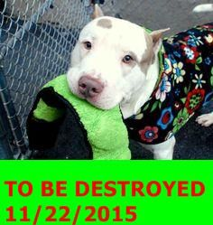 12/1/15 STILL THERE!!! Manhattan Center – P My name is HOGAN. My Animal ID # is A1057162. I am a male white and brown pit bull mix. The shelter thinks I am about 4 YEARS old. I came in the shelter as a STRAY on 11/07/2015 from NY 10454, owner surrender reason stated was STRAY. http://nycdogs.urgentpodr.org/hogan-a1057162/