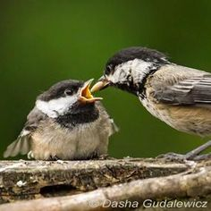 Toddlers - Fledgling Chickadees | BirdNote