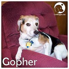 Pittsburgh, PA - Beagle Mix. Meet Gopher, a dog for adoption. http://www.adoptapet.com/pet/12517252-pittsburgh-pennsylvania-beagle-mix