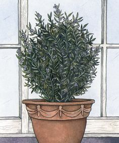 Overwintering rosemary: Rosemary can be successfully overwintered indoors, but for healthy roots and shoots it needs good drainage and good air circulation.