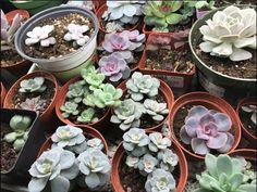 How to Propagate Succulents like a Pro! Learn to make hundreds of succulents in a couple of months with propagation! Baby Succulents, Propagating Succulents, Planting Succulents, Planting Flowers, Succulent Care, Succulent Gardening, Indoor Gardening, Air Plants Care, Plant Care