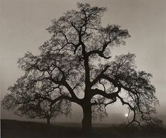 View Oak Tree, Sunset City, Sierra Foothills, California by Ansel Adams on artnet. Browse more artworks Ansel Adams from Ansel Adams Gallery. Ansel Adams Photography, Nature Photography, Creative Photography, Artistic Photography, Dramatic Photography, Amazing Photography, Best Photographers, Landscape Photographers, Ansel Adams Photos
