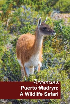 Puerto Madryn, Argentina is an excellent base for a wildlife safari. Peninsula Valdes can be done as a day trip and is an excellent place for family travel and travel with kids. One of the many animals we spotted was this guanaco!