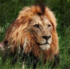Dreadlocks and his beautiful mane Wild Lion, Lion And Lioness, Wild Animals Photos, King Of The World, He's Beautiful, Big Cats, Beautiful Creatures, Lions, Cute Animals
