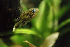 Freshwater puffer fish | 5 true freshwater puffers!