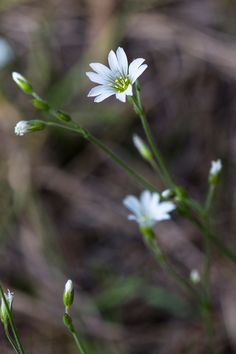 Long Stalked Starwort - Stellaria longipes | Photo by Jacob W. Frank | Rocky Mountain National Park. (pinned by haw-creek.com)